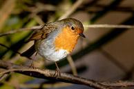 Robin at Stokers Lake