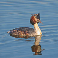 Stockers Lake Great Crested Grebe
