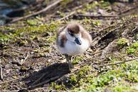 Egyption Goose - gosling