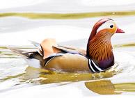 Mandarin Duck male