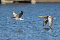 Greylag Goose - Hyde Park