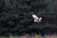 Barn Owl - Osterley Park
