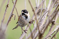 Reed Bunting at Warren Farm