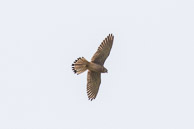 Kestrel hunting over Warren Farm