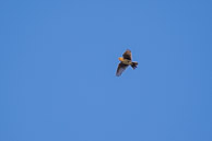 A skylark in the summer sky at Warren Farm