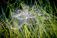 dewy cobweb in the grass at Warren Farm