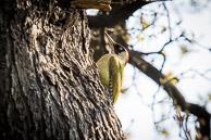 Green Woodpecker at Warren Farm