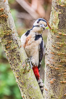 Great Spotted Woodpecker in my Norwood Green Garden