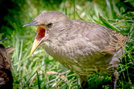 A hungry juvenile starling in my garden