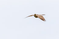 Skylark over Warren Farm