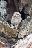 a juvenile little owl
