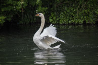 a mute swan excercising it s wings on the Grand Union Canal