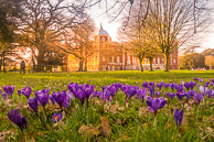 Crocus Flowers at Osterley Park