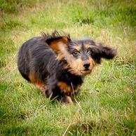 standard wire hair Dachshund dog - Ozzy