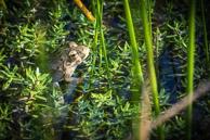 young marsh frog