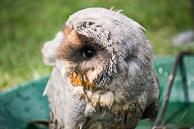 Barn Owl - Juv.